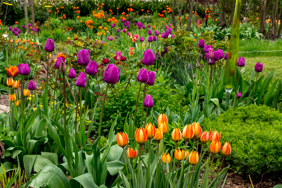 Tulpen-Mischung orange-violett