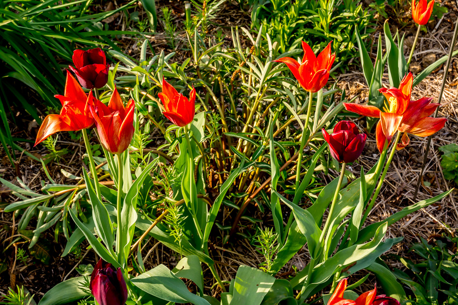 Gefruostete Tulpen