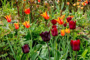 Tulpen-Mischung orange-rot